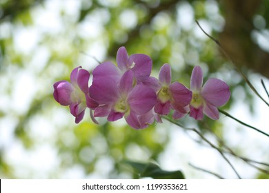 inflorescence of pink orchid is on bokeh background. Concept of floral postcard, wallpaper, advertising. Cut  flower is use for decoration, garland flower and worship bhudda.There is copy space.