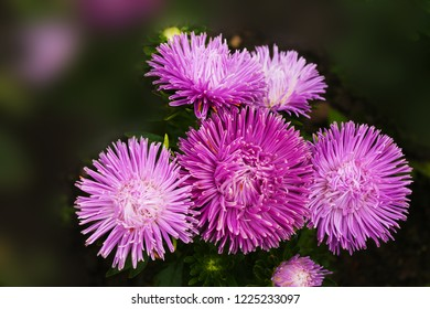 The inflorescence of purple asters was bathed in the morning dew of the city park. Inflorescence of purple asters on an isolated background