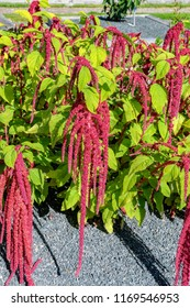 Inflorescence of Red amaranth (Amaranthus caudatus L.) on shrubs in summer garden. Common names include love-lies-bleeding, pendant amaranth, tassel flower, velvet flower, foxtail amaranth and quilete
