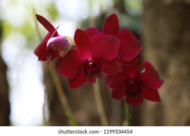 inflorescence of red orchid is on bokeh background.Concept of floral postcard, wallpaper, advertising.Cut  flower is use for decoration, garland flower and worship bhudda. There is copy space for edit