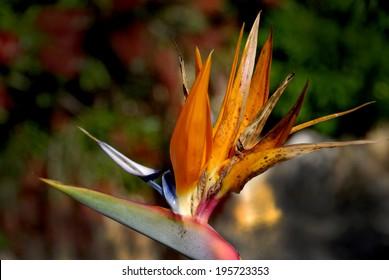 Inflorescence of royal wild banana, [Strelitzia nicolai]