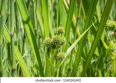Inflorescence of  simplestem bur-reed -  Sparganium erectum