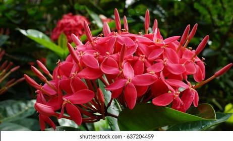 Inflorescence of small red flowers. Javanese Ixora (Jungle Geranium, Jungle Flame) in Las Terrenas, Dominican Republic.
