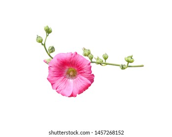 Inflorescence sweet colorful pink hollyhock (Alcea rosea) blooming and green bud flowers with stem isolated on white background , clipping path