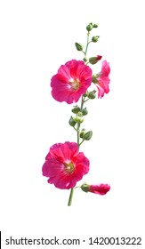 Inflorescence sweet colorful red or pink  hollyhock (Alcea rosea) blooming and green bud flowers with long stem isolated on white background , clipping path