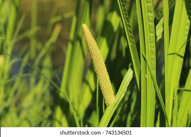 Inflorescence of sweet flag (Acorus calamus)