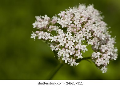 inflorescence of valerian (Valeriana officinalis) on green background