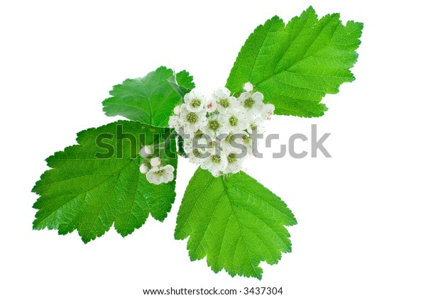 Inflorescence of white flowers isolated on white