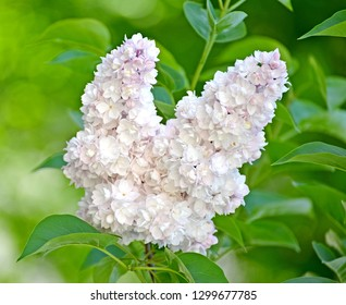 "Inflorescence of a white terry lilac (Syringa L.) grades ""Beauty of Moscow"" (Krasavitsa Moskvy)"