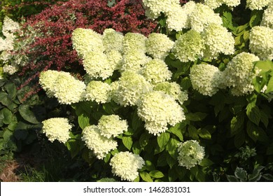 "Inflorescences of blossoming  			green-white Hydrangea Paniculata, grade ""Limelight"", at sunny day. Summer nature. Postcard with hydrangeas. Hydrangeas blooming. Blossom in garden. Gardening and flowers"