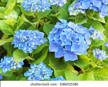 Inflorescences of hydrangea macrophylla (Nikko Blue). Blue floral hortensia background