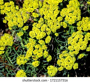 inflorescences of the plant called spurge pine growing in forests in the suburbs of the city of Bialystok in the Podlasie region in Poland - Shutterstock ID 1721157316
