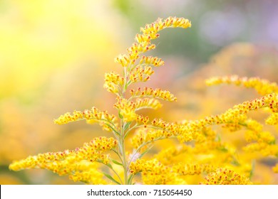 Inflorescences of a yellow field flower of a goldenrod