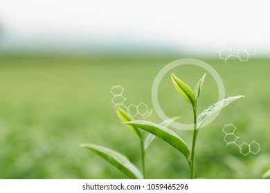 Infographics Circles and Molecular Structures the tea leaves from the tea plantation, the new shoots are soft shoots. Water is a healthy food and drink.as background Healthcare concept with copy space