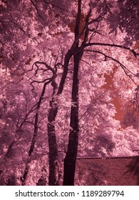 Infrared fine art photography : Tree , Leaves , Forest