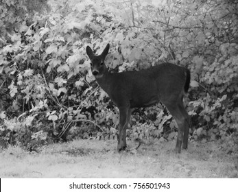 infrared image of a deer in the yard in town Astoria, Oregon.