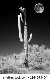 Infrared Moon rising Sonora desert saguar cactuse in central Arizona USA