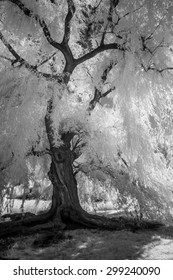 Infrared Weeping Willow