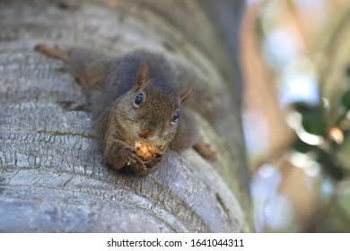 Ingram's Squirrel (Guerlinguetus ingramii). Araçariguama, São Paulo.