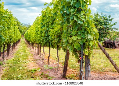Ingrapes in the vineyard