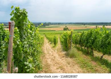 Ingrapes in the vineyard