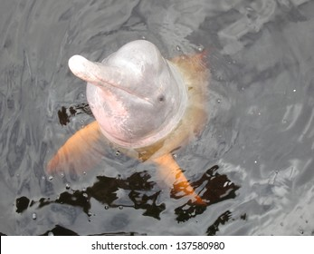 Inia geoffrensis, commonly known as the Amazon river dolphin, is a freshwater river dolphin endemic to the Orinoco, Amazon