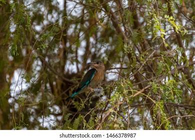 inidan roller sitting on the branches, abudhabi , uae
