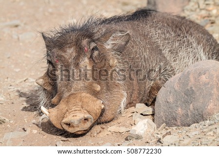injured common warthog two red dots stock photo edit now 508772230