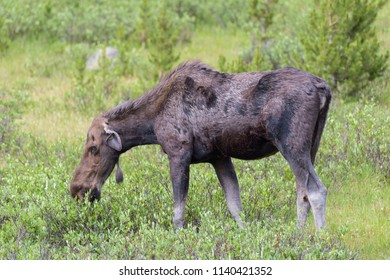 Injured Cow Moose. Wild Shiras Moose in the Rocky Mountains of Colorado