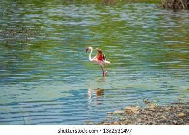injured flamingo on lake bogoria