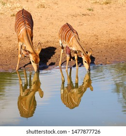 Injured nyala baby with mother drinking water from calm water with sand in background