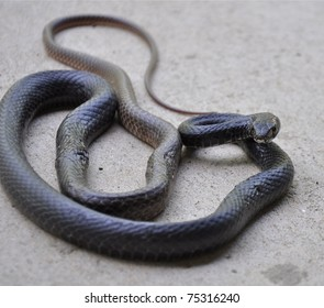 Injured Rat Snake