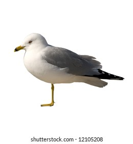 An injured seagull isolated against a white background