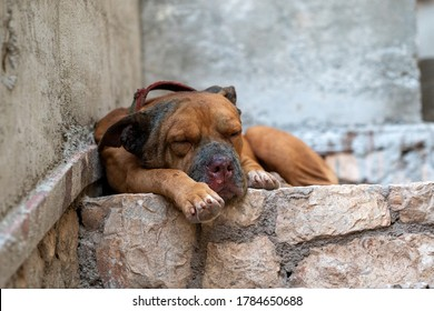 an injured, tired male pit bull dog rests on stone steps