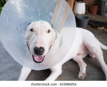 Injured White bull terrier dog with ear blue bandage and wearing a cone after surgery