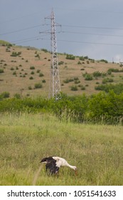 Injured white stork (Ciconia ciconia): a large bird in the stork family Ciconiidae. Bird with strom cluds in the background, and electric fences in the background as  athreatening effect to nature