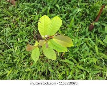 Inknut tree, Silikha, terminalia chebula,terminalia reticulata,myrobalan