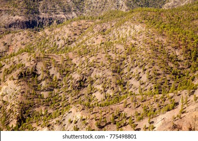 Inland Gran Canaria, Nature reserve Pilancones, sunny day in December, young pine trees in the reforestation zone of old forest fire