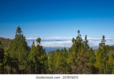 Inland Gran Canaria, sea of clouds visible over the tops of canarian pine