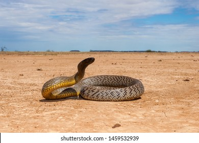 Inland Taipan in strike position