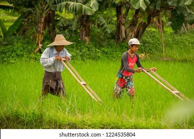 Inle Lake, Myanmar - August 20th 2015: Farmer working in field of inle lake plan.