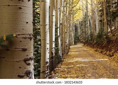 Inner basin trail fall aspen trees