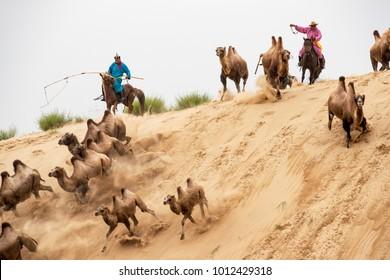 Inner Mongolia, China-Aug 2, 2017: Mongolian horsemen chasing the double hump camels ( camelus bacterianus ) in a sand dune of the Mongolian desert.