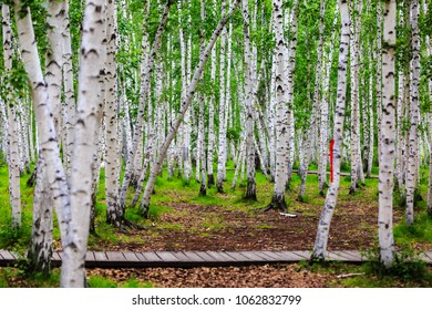 Inner Mongolia Hulunbeier birch forest