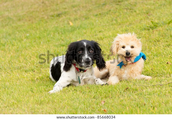 Innocence-two pretty puppies a spaniel and a bichon frise crossbreed lie together on the grass looking angelic!