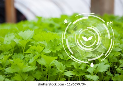Innovation for smart farm system, Agriculture management, Coriander in greenhouse
