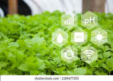 Innovation technology for smart farm system, Agriculture management, Technology concept in coriander greenhouse, Internet of things