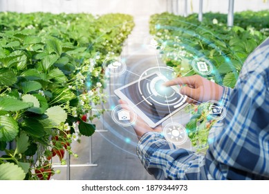 Innovation technology for smart farm system, Agriculture management, Hand holding smartphone with smart technology concept. asian male farmer working in Strawberry farm To collect data to study. - Shutterstock ID 1879344973