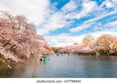 Inokashira park in Kichijoji at cherry blossom time