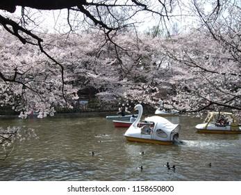 Inokashira Park (Inokashira Pond) where cherry blossoms (sakura) are in full bloom, Tokyo, Japan
